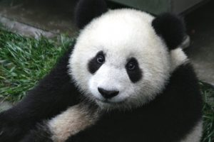 photo of a panda looking directly into your soul